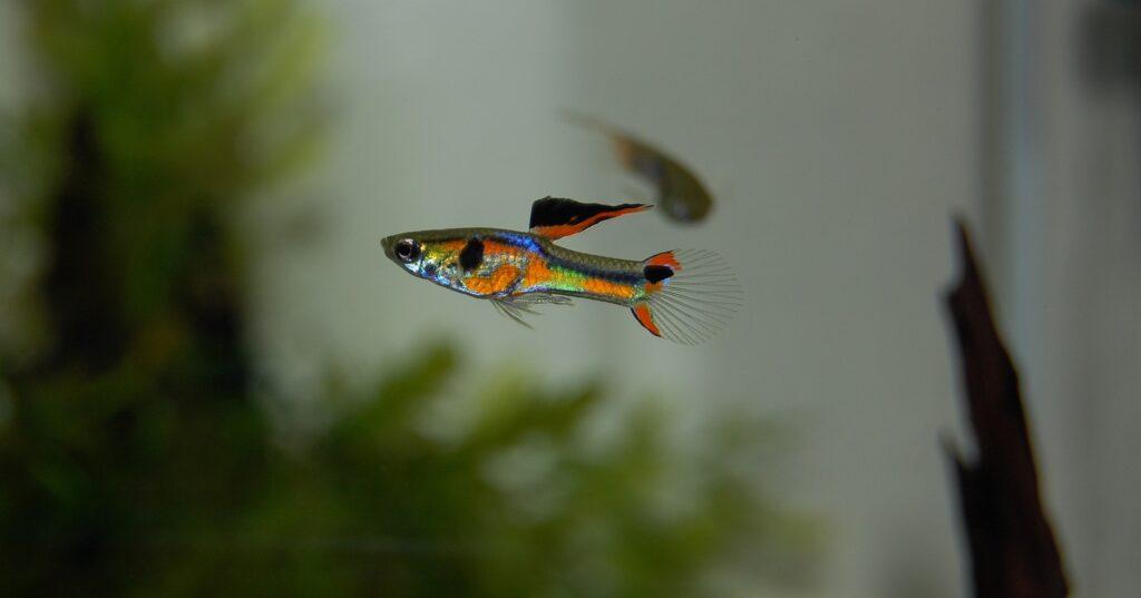 kezdő akvárium halak guppik