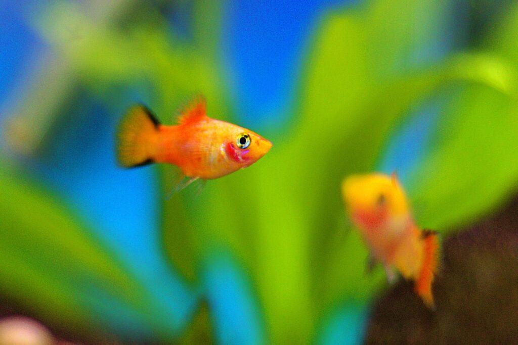 kezdő akváriumi hal platti hal