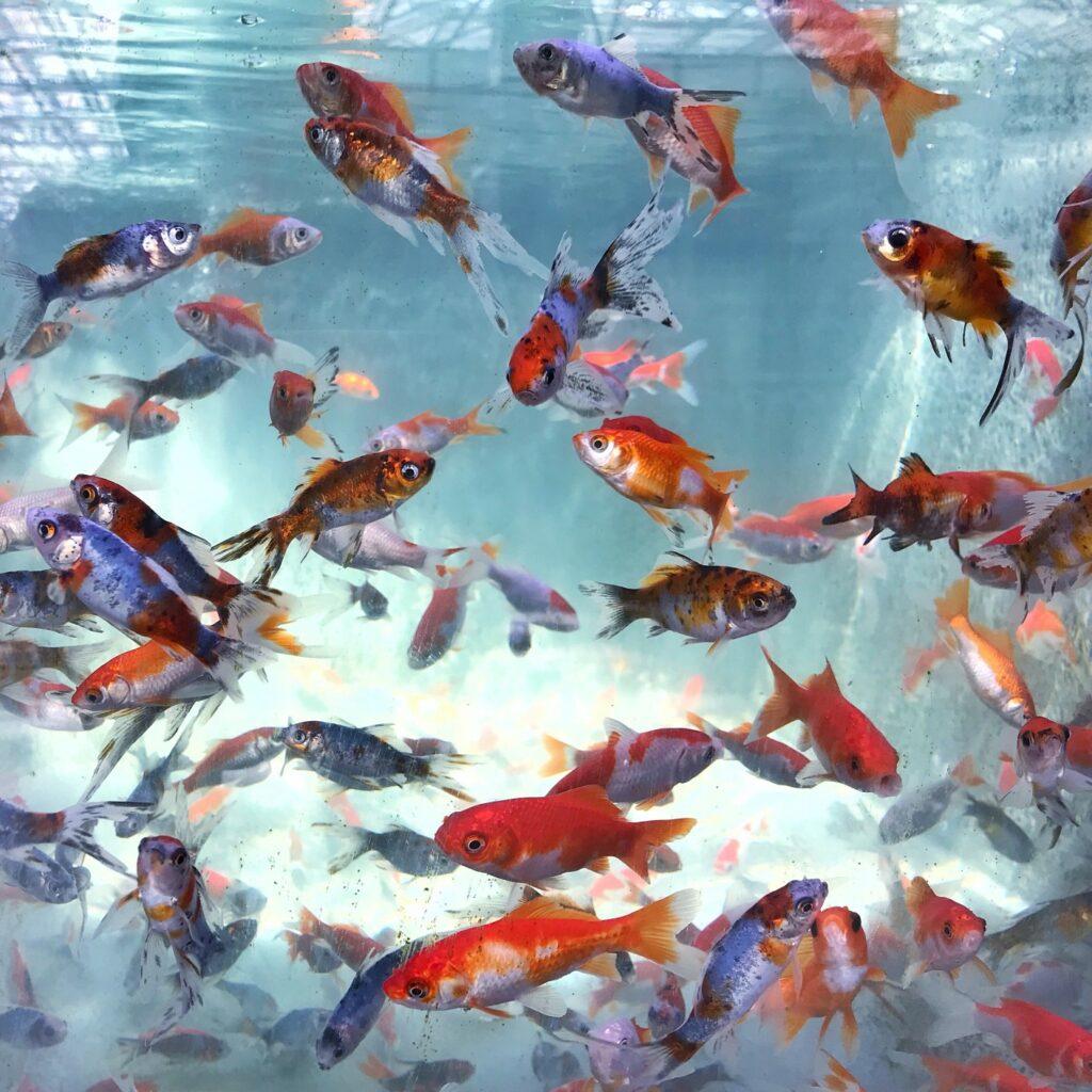 kezdő akváriumi halak összeválogatásának szempontjai