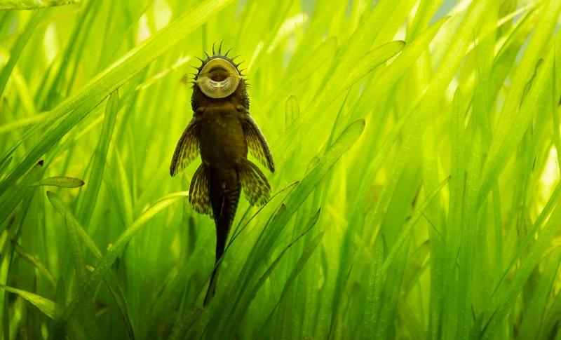 akvárium algásodás ellen algaevő halak