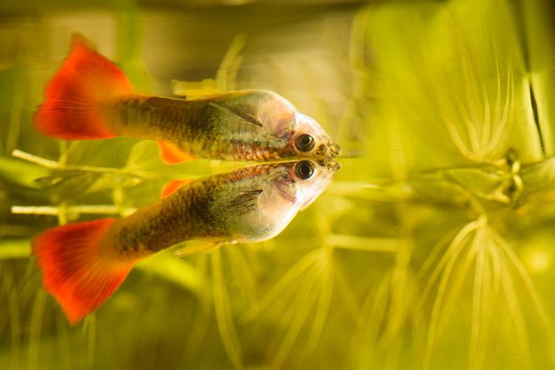 guppi hal akváriumban